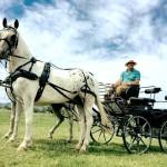 Horse and Carriage Rides Around Livestock Longdon